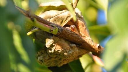 Továbbra is aktívak a harlekin katicák a gyümölcsösökben