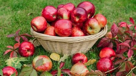 Almapiaci helyzetkép - elmarad a várakozásoktól az idei almatermés
