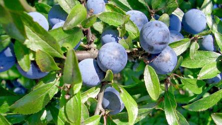 Őszi terméshatározó III. rész – tapadó vadszőlő, kökény, közönséges boróka