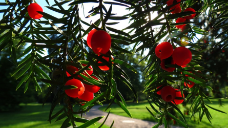 Őszi terméshatározó II. rész – tiszafa, csíkos kecskerágó, tűztövis és madárbirs