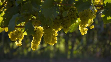 Változik a bor íze a klímaváltozás miatt