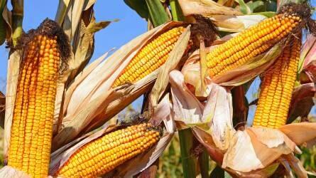 Hat napja csökken a kukorica ára
