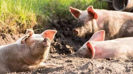 A húsárak drágulására lehet számítani - Dél-Koreában is felütötte fejét a sertéspestis