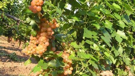 Vajdaságban nemesített rezisztens szőlőfajták (1.)