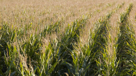 Csúcshibridek, a magas termésszintek garanciái