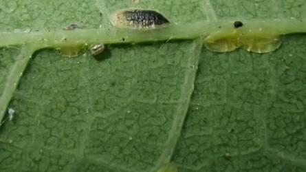 Mi van az ostorfa levelének fonákán?
