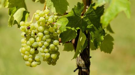 A biológiai növényvédelem jelenlegi helyzete, a szőlő biológiai növényvédelmének lehetőségei