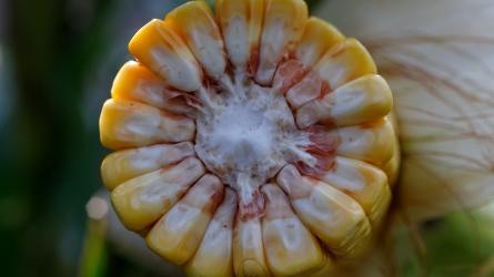 Csúcshibridek a megújult kukoricaportfólióban