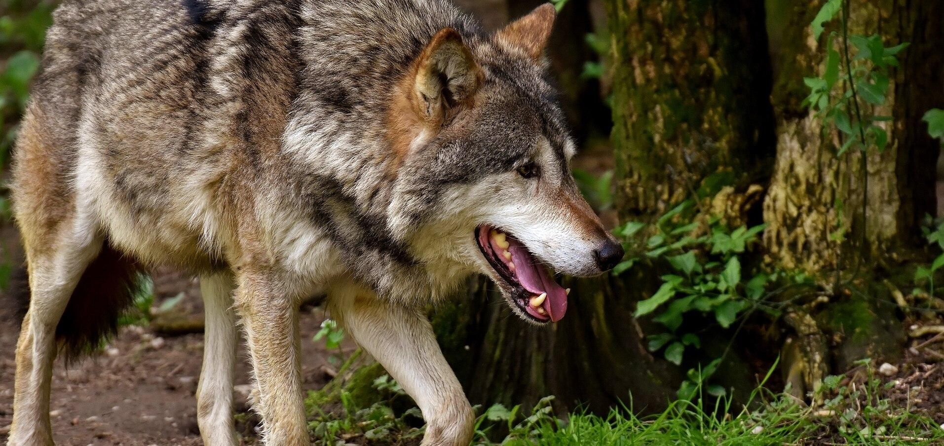 farkas látvány)
