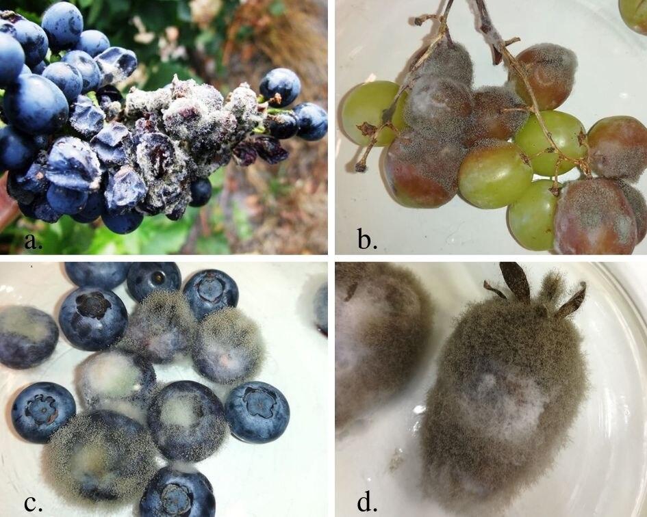Kertészeti károsítók előrejelzése (13.) – A szürkepenész betegségének növényvédelmi előrejelzése