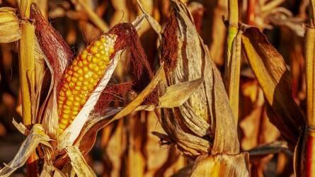 kukorica fonálféreg
