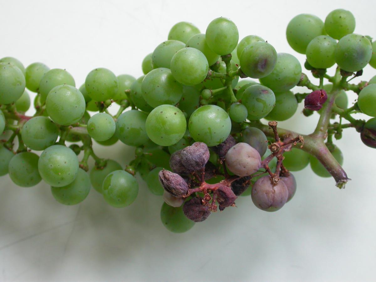 vörös foltok a szőlő kezelésén kenőcs a lábakon lévő vörös foltok ellen